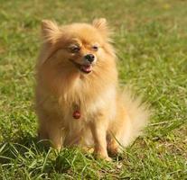 mogen pomeranian hund på gräs foto