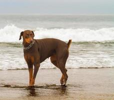 mild doberman på stranden