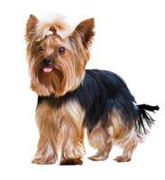 rolig yorkshire terrier foto