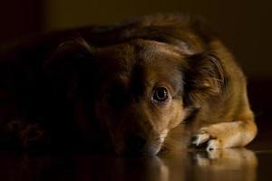 brun hund som ligger på trägolvet