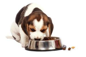 beagle valp