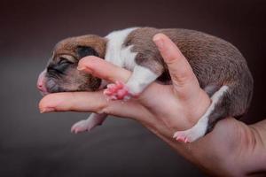 nyfödda basenji valp, första dagen foto