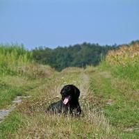 hund plattbelagd retriever foto