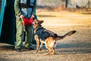tysk herdehundträning foto