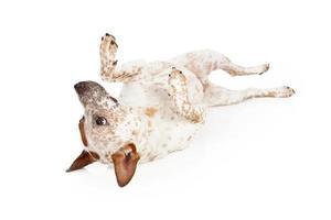 australiska nötkreaturhund som ligger på ryggen foto