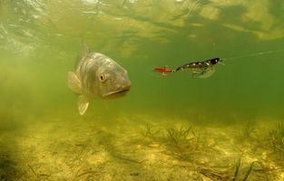 rödfisk under vattnet som jagar lokkar foto