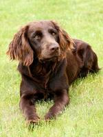 porträtt av den tyska spanielhunden foto