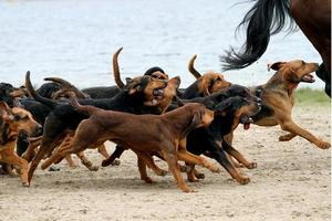 blodhunts som springer med hästar foto