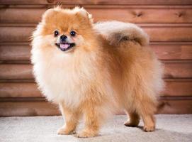 porträtt pomeranian hund foto