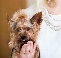 rolig yorkshire terrier på händer foto