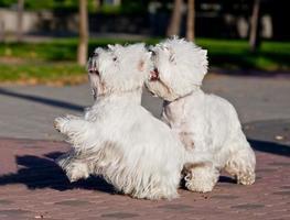 två västra höglandsvit terrier som spelar i parken foto