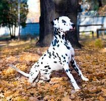 dalmatian är stolt. foto