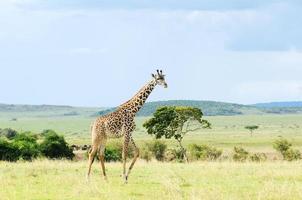 giraff som går genom gräsmarkerna foto