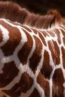 giraffhals och göm detalj foto
