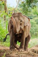 vilda elefanter i Thailand Chiang Mai nationalpark. foto