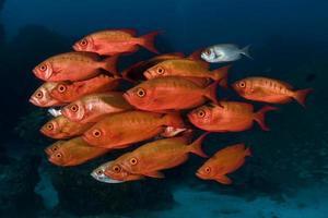 röda stora ögon fiskar foto