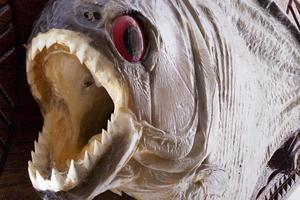 piranha fisk på nära håll foto
