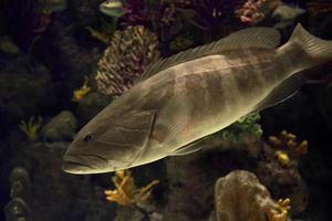 jättegrupper stora fiskar foto
