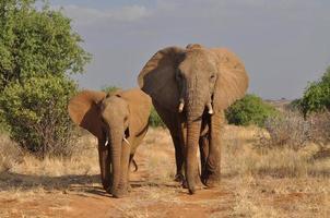 elefanter foto