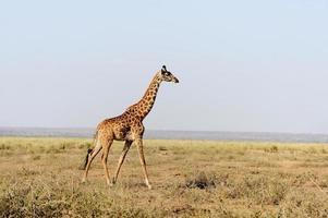 giraff i kenyas nationalpark foto