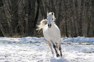 hoppa över vit häst foto
