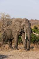 elefant promenader foto