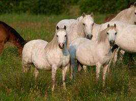 flock av hästar foto
