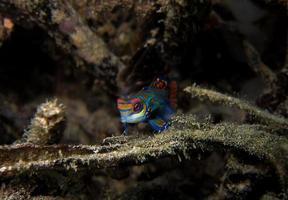 mandarin fisk foto