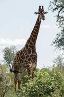 hög giraff foto
