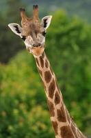 giraffhuvud med hals foto