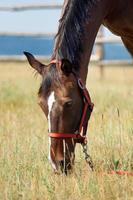 häst äter gräs foto