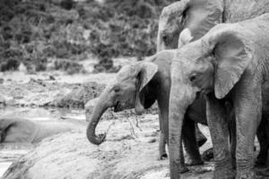 elefanter på Addo elefant park, Sydafrika foto