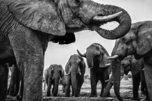 dricka elefanter foto