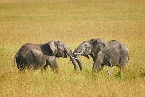 slåss mellan två manliga elefanter foto