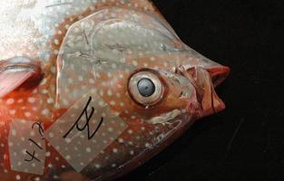 rött fiskhuvud foto
