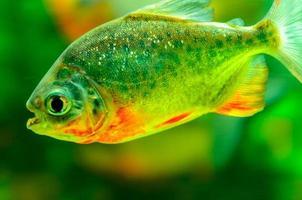 piranha fisk foto