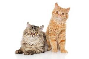 persisk kattunge på vit bakgrund foto
