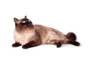 porträtt av en siamesisk katt