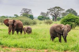 elefantföräldrar med kalv i tarangire park, tanzania foto