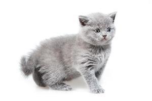 brittisk lop-eared kattunge foto