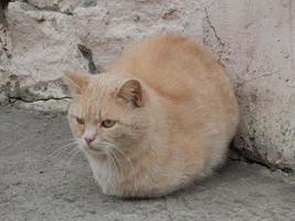 hemlös röd katt är ledsen. foto