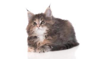 tabby maine coon kattunge foto