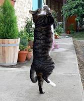 tabby katt spelar foto