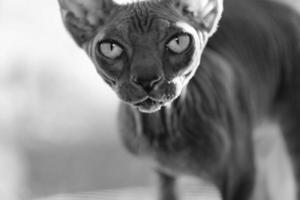 porträtt av baby sphynx katt, brun makrill tabby foto