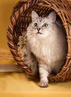 vit fluffig katt på gul bakgrund foto