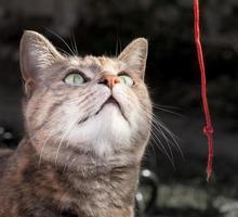sköldpaddan tabby katt som leker med röd sträng foto
