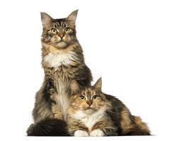 två maine coons som sitter, ligger och tittar bort foto