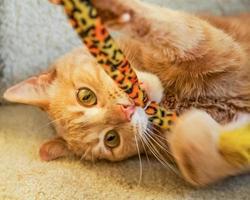lekfull ingefära katt bitande kattleksak foto