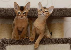 porträtt av en söt abyssinian kattunge foto