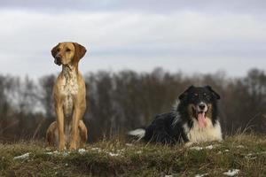 australsk herde och magyar vizsla foto